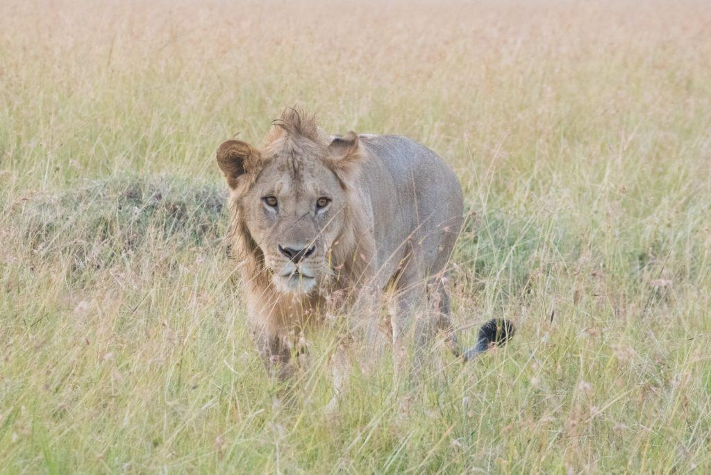百獣の王 ライオンキング